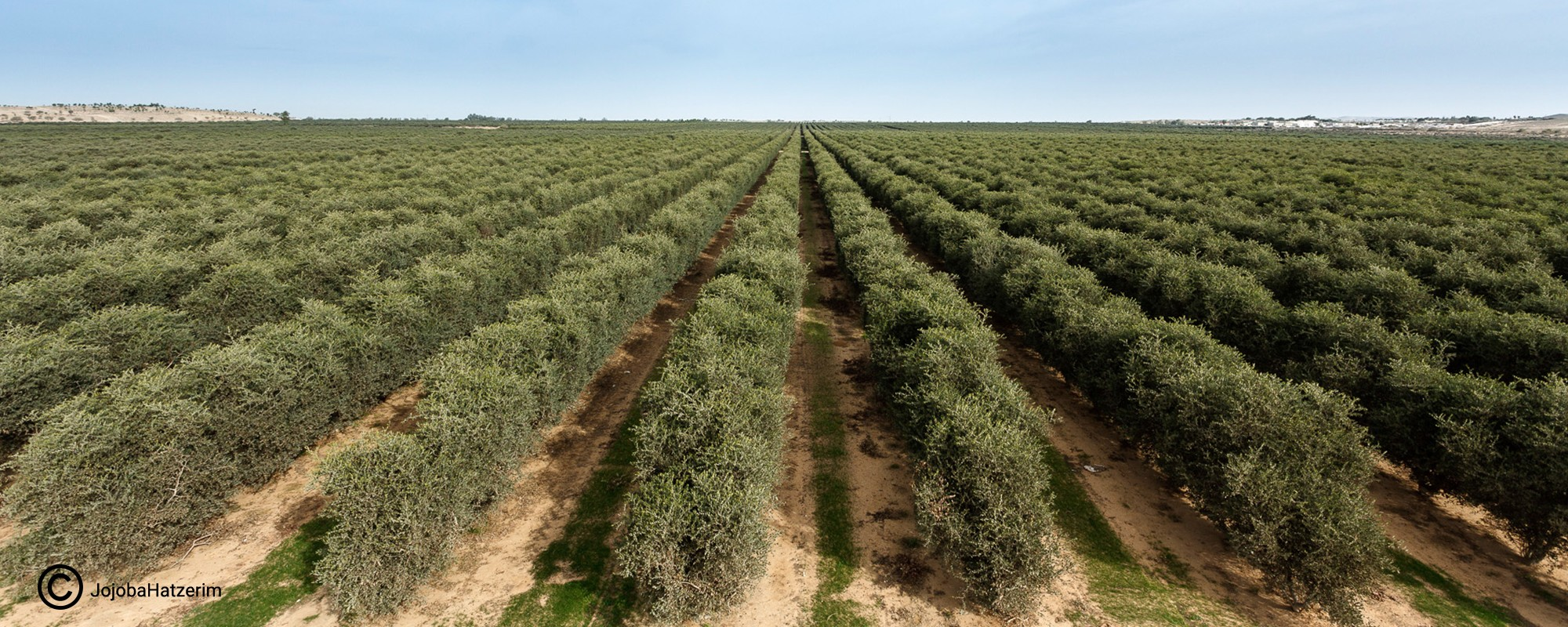 Jojoba Oil - Kibbutz Hatzerim