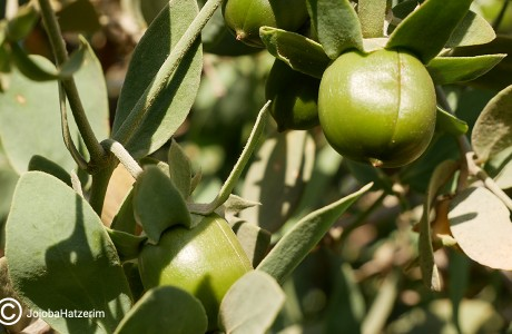 The Discovery of Jojoba Oil